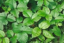 Poison Ivy: Prevention + Treatment