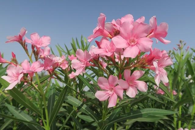 Oleander (common names: Rose Bay, Rose Laurel)